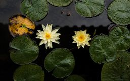 The yellow lotus in water, blue lotus in the sun stock images