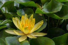 Yellow lotus. Beautiful yellow lotus flower among green leaves Stock Photography
