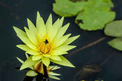 Yellow lotus Royalty Free Stock Photos
