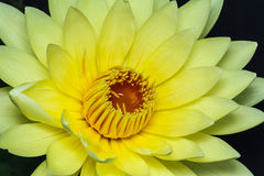 Yellow lotus Stock Photography