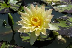 Yellow lotus blooming and leaves floating. stock image