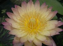 Yellow lotus blooming zen flower floral Stock Images