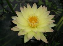 Yellow lotus blooming zen flower floral Stock Photo