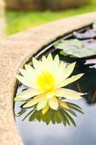 Yellow lotus blossom in the pond Stock Image