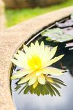 Yellow lotus blossom and reflection Royalty Free Stock Photo
