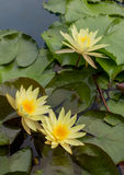 Yellow lotus blossom in the water Stock Image
