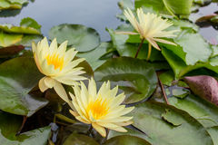 Yellow lotus blossom in the water Royalty Free Stock Photos