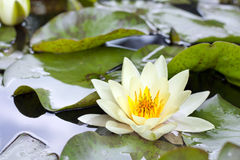 Yellow lotus blossom or water lily flower Stock Images