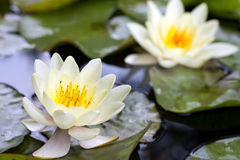 Yellow lotus blossom or water lily flower Royalty Free Stock Photos