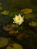 Yellow lotus blossoms or waterlily flowers blooming on pond Royalty Free Stock Images