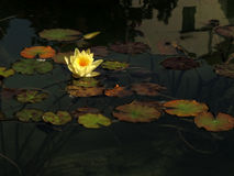 Yellow lotus blossoms or waterlily flowers blooming on pond Royalty Free Stock Photos