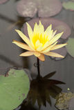 Yellow Lotus Stock Photo