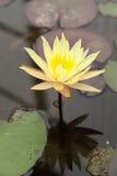 Yellow Lotus. Chiang Mai, Thailand - 06.13.2015 - Plants Royal Botanic Gardens of Thailand Stock Photo