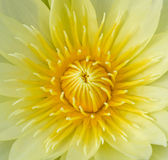 Yellow lotus flower. Closeup yellow lotus flower and green leaf Royalty Free Stock Images