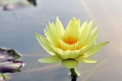 Yellow lotus flower Royalty Free Stock Images