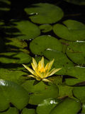 Yellow Lotus flower Stock Image