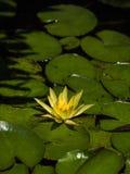 Yellow Lotus flower stock image