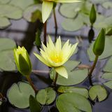 Yellow lotus. Flower with leaves on the water Royalty Free Stock Photo