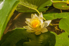Yellow Lotus flower and Lotus flower plants. Water Lily on bright sunny light floats in the pond Stock Images