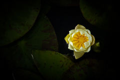 Yellow Lotus. Yellow of a lotus flower on the water Stock Image