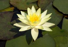 Yellow lotus flower Stock Images
