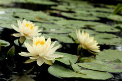 Yellow Lotus flowers Royalty Free Stock Image