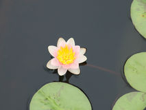Yellow Lotus flowers. Yellow lotus flower or water lily flowers blooming on pond Royalty Free Stock Photos
