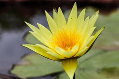 Yellow lotus Royalty Free Stock Image