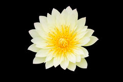 Yellow lotus, Isolated on black Stock Image