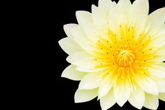 Yellow lotus, Isolated on black Stock Photo