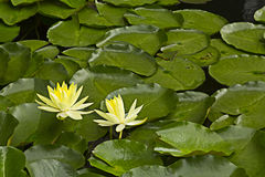 Yellow lotus in the lake Royalty Free Stock Images