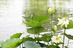 Yellow Lotus Royalty Free Stock Photo