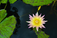 Yellow lotus in lotus pond. Symbolic metaphor of blossoming Eastern Mysticism and Enlightenment Stock Image