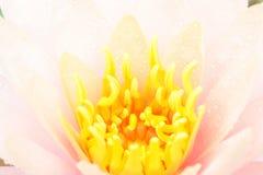 Yellow Lotus Pollen Royalty Free Stock Images