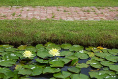 Yellow lotus pond with a brick red on the grass. Royalty Free Stock Photos