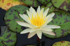 Yellow lotus on the pond. Royalty Free Stock Images