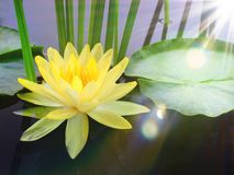 Yellow lotus in the pond And the sunlight reflects on the water Stock Photos