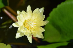Yellow lotus on the pool Stock Images