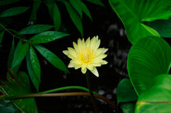 Yellow Lotus. Water lilies in the thailand stock image