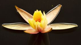 Yellow lotus water lily flower opening timelapse