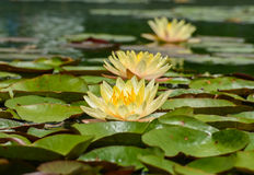 Yellow Lotus. Yellow water lily in full bloom royalty free stock image