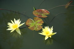 Yellow lotus / yellow water lily Stock Images