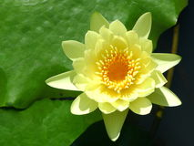 Yellow lotus / yellow water lily Royalty Free Stock Photography