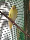Yellow love bird royalty free stock photography