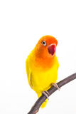 Yellow Lovebird on branch Royalty Free Stock Photo