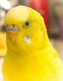 Yellow lovebird close-up. Close up of a yellow lovebird Stock Image