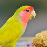 Yellow Lovebird Royalty Free Stock Images