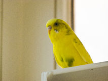 Yellow lovebird Stock Photography