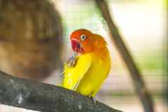 Yellow Lovebird parrots sitting on a tree branch Stock Photo