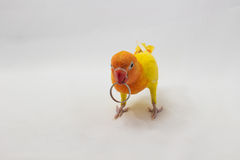 Yellow Lovebird with Ring Royalty Free Stock Photo
